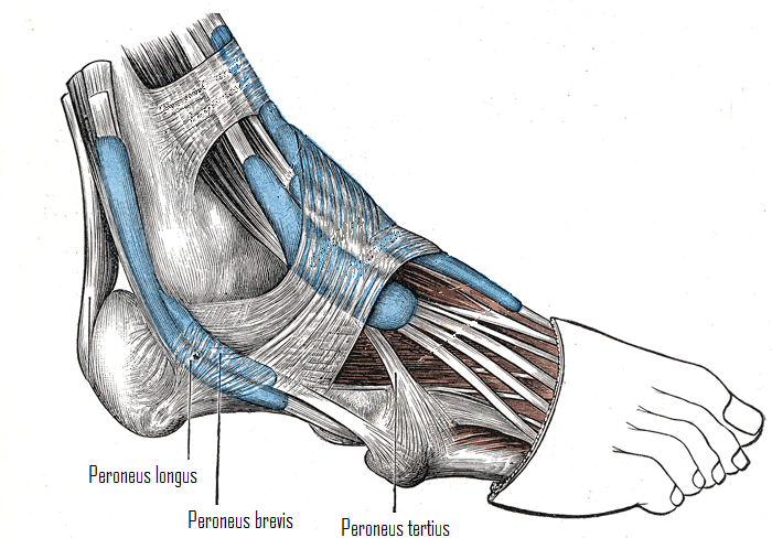 Peroneal Tendon Injuries Total Health