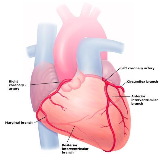 early diagnosis of coronary artery disease | total health, Muscles