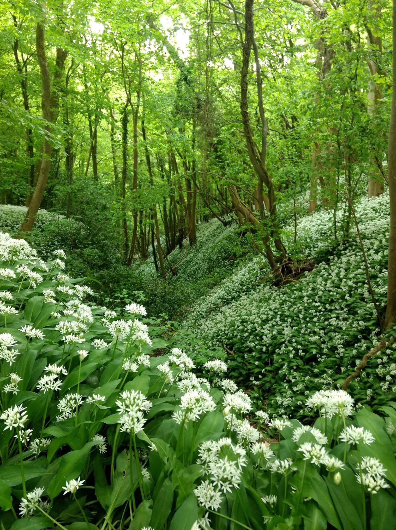 Wild garlic in the woods
