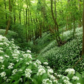 Wild garlic in woods